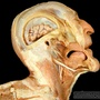 Photo - Muscles of the head