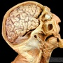Brain, orbit, and oral cavity - lateral view