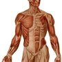 Illustration - Upper limb muscles