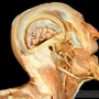 Photo - Muscles of the head - layer 5
