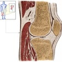 Illustration - Sagittal section knee joint