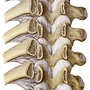 Illustration - Frontal section of thoracic vertebral arches and ribs with ligaments